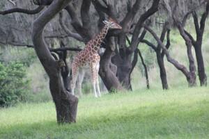 Picture taken of Giraffe at Animal Kingdom